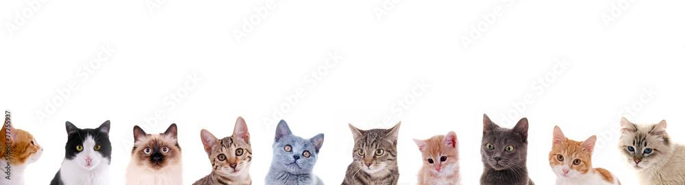 Fototapeta Verschiedene Katzenköpfe in der Reihe