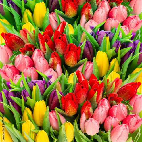 Fototapety, obrazy: Fresh spring tulip flowers with water drops. Vibrant colors
