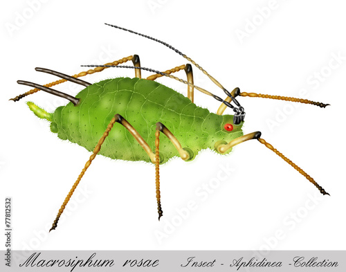 aphid, greenfly, plant louse Wallpaper Mural