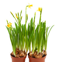 Potted Daffodil Flowers Grow Pots Isolated White