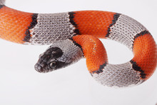 Picture Of A False Coral Snake