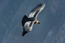 Andean Condor Flying In The Co...