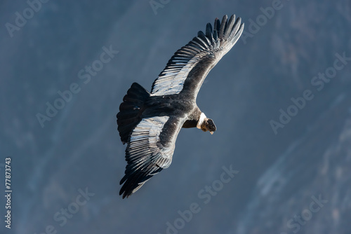 Photo Andean condor flying in the Colca Canyon Arequipa Peru