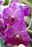 Fioletowe orchidee Vanda