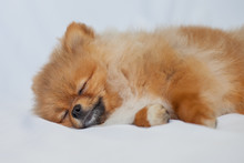 Cute Puppy Pomeranian Sleeping...