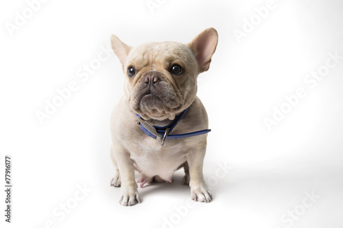 Poster Bouledogue français French bulldog sitting on background