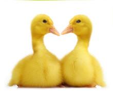 Cute Little Duckling