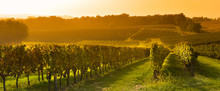 Vineyard Sunrise - Bordeaux Vi...