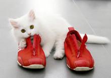 White Persian Kitten Playing W...