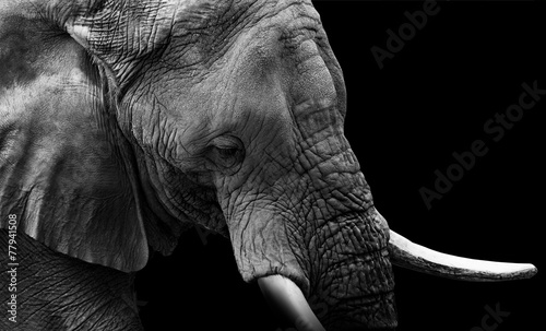 Foto op Aluminium Olifant Elephant Close Up Low Key