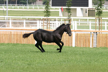 Purebred Foal Running Across The Showground