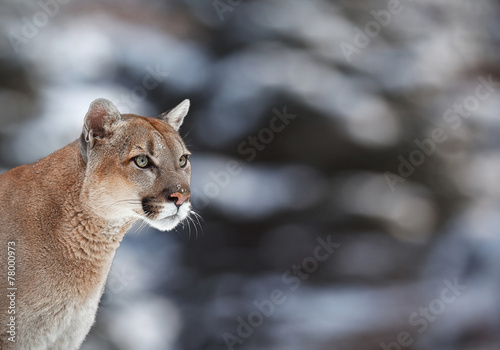 Poster Puma lion, hiking, trail, america, fur, carnivore, puma, killer