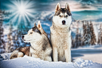 FototapetaSiberian Husky in winter mountains
