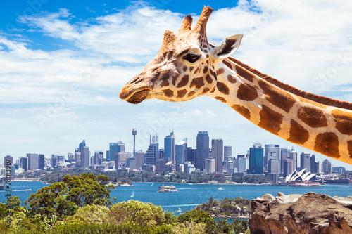 Canvas Prints Sydney Giraffe at Taronga Zoo in Sydney. Australia.