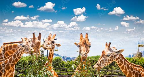 Giraffes at Taronga Zoo, Sydney. Australia.