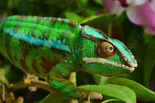Staande foto Kameleon Panther Chameleon (furcifer pardalis)
