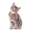 canvas print picture - Sitzende, getigerte Katze