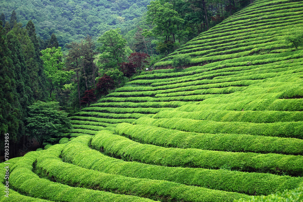 Photo  Tea plantation