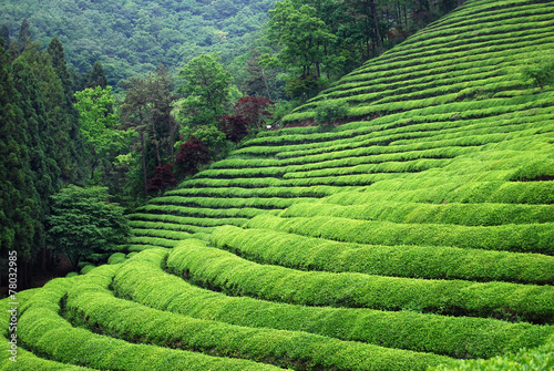Tea plantation Fototapet