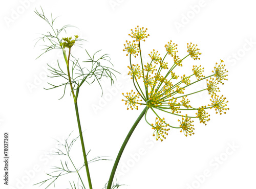 Tablou Canvas flowers of dill