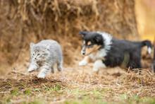 Rough Collie Puppy Running Behind Little Grey Kitten