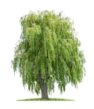 Isolated Weeping Willow On A W...