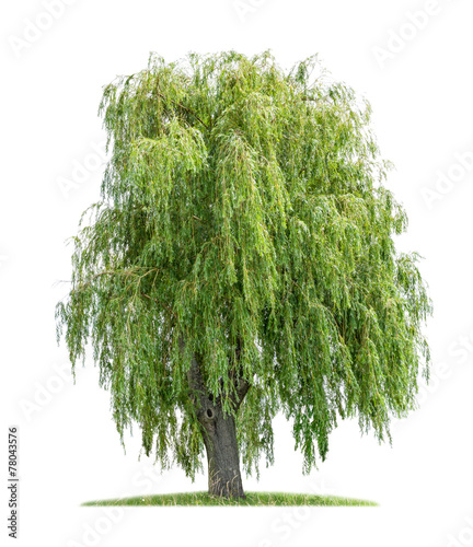 Fotografie, Tablou isolated weeping willow on a white background