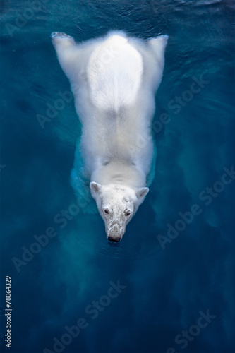 Obraz na płótnie Swimming polar bear, white bear in blue water
