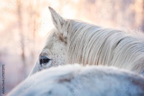 Fotografia White horse looking back in winter