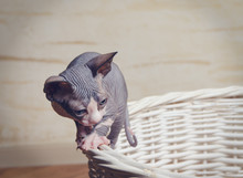 Little Sphynx Cats On The Rim Of Wooden Basket