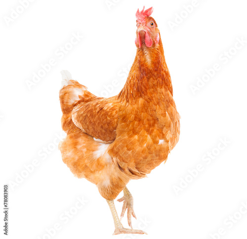 Fotografie, Tablou full body of brown chicken hen standing isolated white backgroun