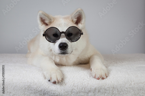 Photo Akita lunette de soleil