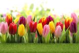 Fototapeta Tulipany - Tulips