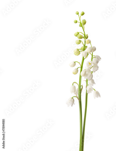 Photo Stands Lily of the valley Two flowers isolated on white. Lily of the Valley