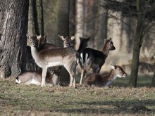 Small Herd Of Fallow Deer (Dama Dama) - End Of Winter
