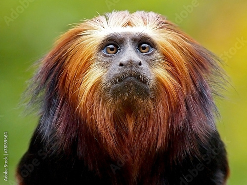 Foto op Canvas Aap Lion Tamarin