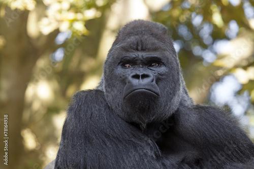 Photo  gorilla silverback