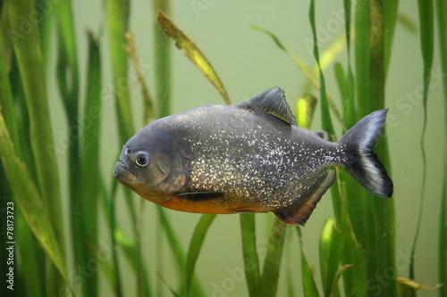 Fotografia, Obraz  Roter Piranha