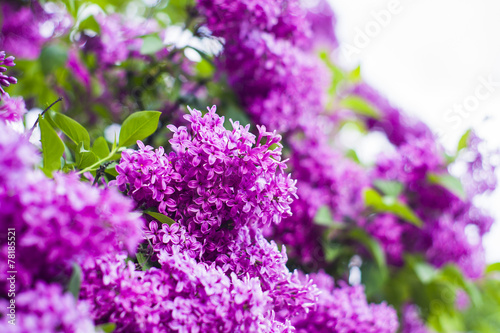 Foto op Canvas Lilac Blooming lilac
