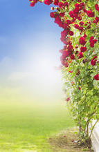 Red Climbing  Rose In Garden On Sky Background