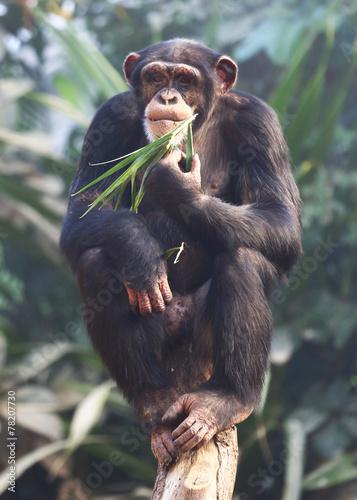 Fotografie, Obraz  essender Schimpanse