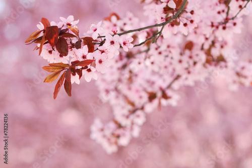 Fotografie, Obraz  Sakura cherry tree blossoms in early spring season