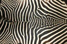 Black And White Texture Pattern Of An Original Zebra Skin