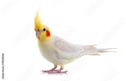 Poster de jardin Oiseau Cockatiel