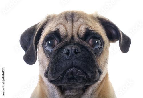 Fotografía Crying Pug Dog closeup over white background