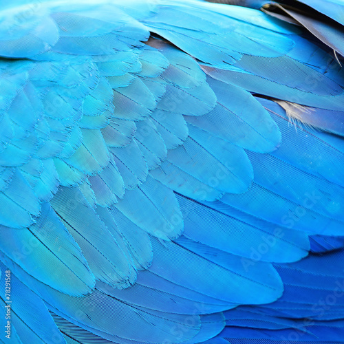 Photo sur Toile Les Textures Blue and Gold Macaw feathers