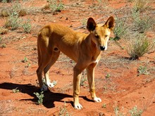 Dingo At Ayers Rock, Australia