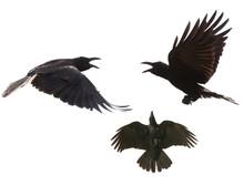 Black Birds Crow Flying Mid Ai...