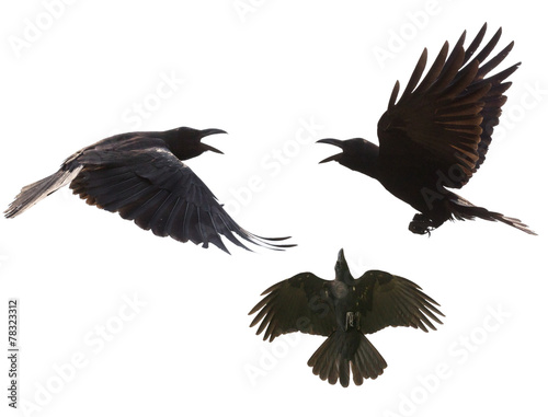 Montage in der Fensternische Vogel black birds crow flying mid air show detail in under wing feathe