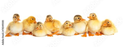 Group of fluffy ducklings isolated Fototapeta
